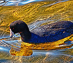 Coot in Shallow Water 4, Bolsa Chica, CA