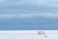 Polar bear walks along a snow covered in the Beaufort Sea on Alaska's arctic coast.