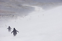 Adelie Penguins walking through a snow storm towards the beach at Cape Crozier, Antarctica.