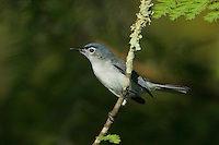 536300006 a wild blue-gray gnatcatcher polioptila caerulea perches on a tree branch near a pond in jasper county texas