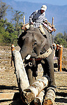 A mahout puts his Asian elephant (elephas maximus)through it's paces moving logs in Hongsa, Laos.