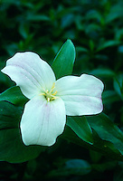 Trillium Grand florum, wake robin