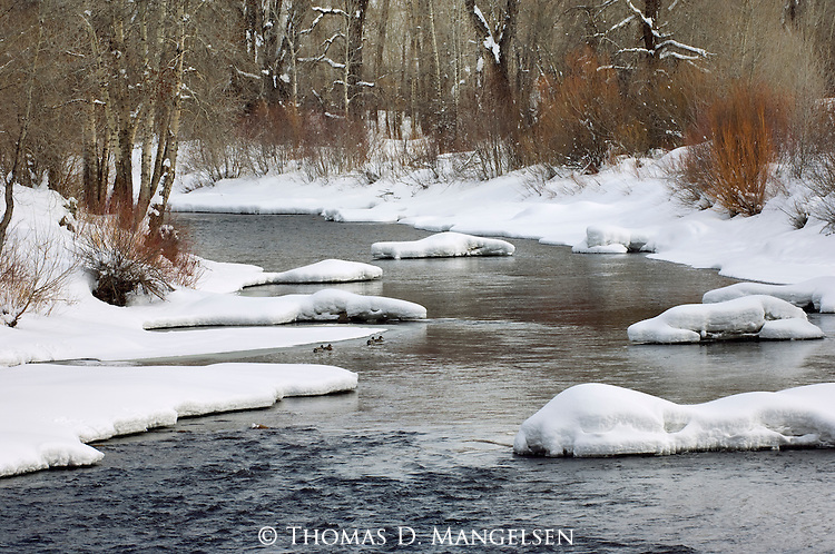 Mallards on the Yampa River during winter near Steamboat Springs, Colorado.