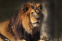 Male lion (Panthera leo leo), in the Zone Sahel-Soudan of the new Parc Zoologique de Paris or Zoo de Vincennes, (Zoological Gardens of Paris or Vincennes Zoo), which reopened April 2014, part of the Musee National d'Histoire Naturelle (National Museum of Natural History), 12th arrondissement, Paris, France. Picture by Manuel Cohen