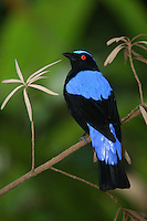 Asian fairy-bluebird, Irena puella