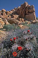 757800003 blooming mojave mound cactus echinocerus mojavensis below large rock formations in joshua tree national park california
