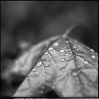 Rain Drops on Maple Leaf, Occold, Suffolk, 2010