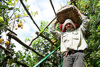 Traditional harvesting methods for lemons are still maintained today at 'Parco delle Zagare', Amalfi, Italy