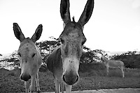 Donkeys out near Privateer Bay<br /> East End<br /> St. John<br /> U.S. Virgin Islands