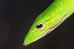 Oriental Whip Snake (Vine Snake)