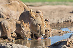Lioness with cubs (Panthera leo) drinking in the Kalahari, Kgalagadi Transfrontier Park, Northern Cape, South Africa, February 2016