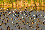 Large flock of Redhead (Aythya americana) and Lesser Scaup (Aythya affinis) in a marshy lake, Florida, USA