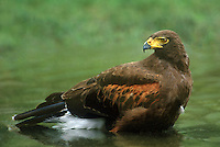 541950007 a wild adult harris hawk parabuteo unicinctus bathes in a small pond on a private ranch in the rio grande valley of south texas