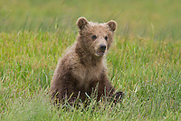 Alaskan brown bear Alaskan brown bear cub of the year in summer