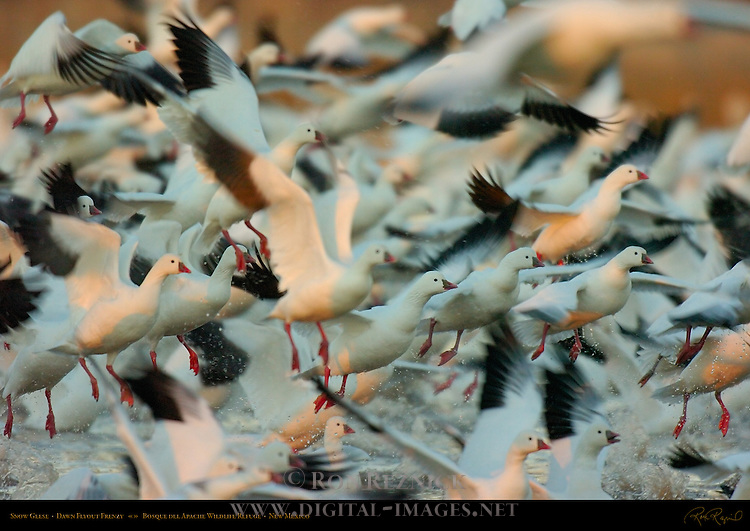 Snow Geese, Dawn Flyout Frenzy, Bosque del Apache Wildlife Refuge, New Mexico