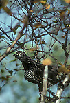 Spruce grouse feeding in tamarack tree<br />
