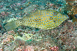 Cocos Island, Costa Rica; a Scrawled Filefish (Aluterus scriptus) swimming over the rocky reef