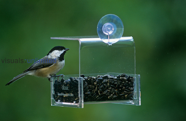 Carolina Chickadee on window bird feeder, Eastern USA.