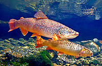 Brown Trout (with Snake River Fine Spotted Cutthroat Trout)<br />
