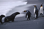 King penguins and Southern fur seals, South Georgia Island