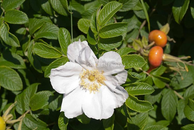 Rosa rugosa Rugosa rose alba shrub rose in white bloom with rosehips