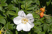 Rosa rugosa Rugosa rose alba shrub rose in white bloom with rosehips