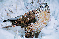 541800011 a wild wildlife rescue ferruginous hawk buteo regalis poses in a snow bank in central colorado united states