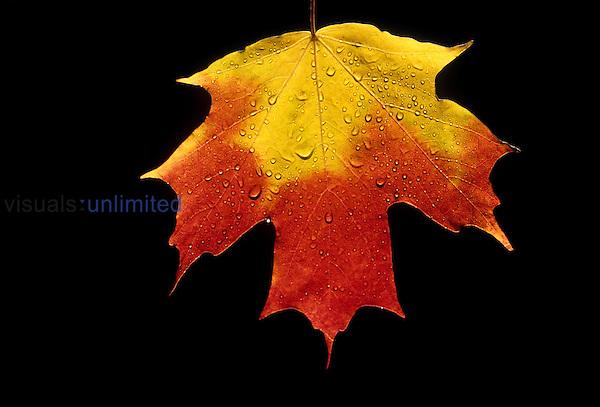 Sugar Maple fall leaf (Acer saccharum), North America.
