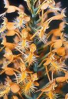 Yellow Fringed Orchid Platanthera ciliaris aka Habenaria ciliaris, native American wildflower in bloom