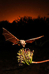 A nectar bat feeding from an agave flower
