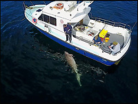 BNPS.co.uk (01202 558833)<br /> Pic: BenBond/BNPS<br /> <br /> The day before ben caught a 1,000lbs shark seen here. <br /> <br /> A British fisherman has told of how he caught a monster 1,500lbs shark - the biggest ever in Europe.<br /> <br /> Ben Bond, 26, a builder from Yeovil, spent 90 minutes struggling to reel in the deadly 25ft long sixgill shark after it took his bait on a fishing trip to Ireland.<br /> <br /> It was impossible to heave the specimen on board but experienced boat skipper Luke Aston used the recognised formula and measuring its length and girth to calculate its weight.<br /> <br /> Mr Aston said the shark was at least 1,500lbs - 107sts - which makes it the biggest ever caught in not only the British Isles but also in Europe.