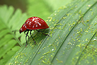 Red Leaf Beetle, Braulio Carrillo National Park, Costa Rica.