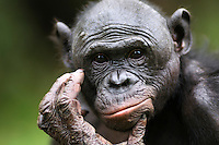 Bonobos (Pan paniscus)