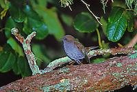 Native Hawaiian forest bird, the omao or Hawaiian thrush, (myadestes obscurus)