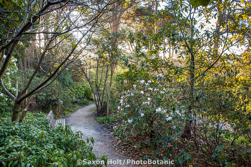 Path through Rhododendron Garden, San Francisco Botanical Garden