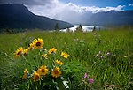 Montana, Glacier National Park. Spring wildflowers on a ridge above two Medicine Lake with isolated showers in the background.