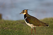 Northern Lapwing (Vanellus Vanellus) in early morning light, pauses to check surrounds before searching for worms and other food. Sometimes known as a Peewit, Green Plover, Teuchit, Hornpie, Flopwing, .Chaucer wrote of the 'false lapwynge, ful of treacherye', the lapwing has had an association with deceit, perhaps because of its beautiful plumage and joyous display flights.