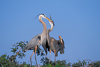 Great Blue Heron. Adult and young on nest. Young calling for food. Spring. Eastern North America. (Ardea herodias).