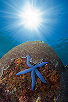 Sea Star resting on a Coral Reef, Indonesia.