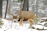 rutting trophy muledeer buck head down walking up hill facing camera snowing cold winter