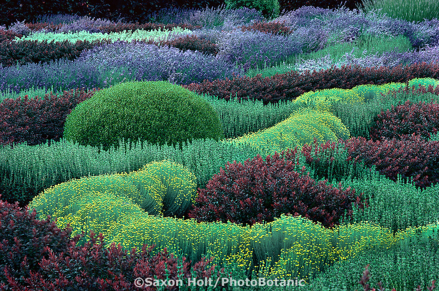 Herb knot garden with Lavender, Santolina, Berberis, Teucrium
