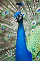 Indian Peacock (Pavo cristatus) displaying for peahens.