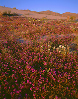 CADAB 114 -  Evening light on desert sand verbena and dune evening primrose with the Santa Rosa Mountains rising in the distance, Anza-Borrego Desert State Park, California, USA
