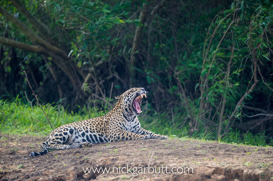 Wild male Jaguar (Panthera onca palustris) resting / yawning on the bank of the Cuiaba River in late afternoon sun light. Northern Pantanal, Brazil.