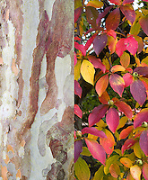 Stewartia pseudocamellia tree in autumn fall foliage and all season bark, composite picture