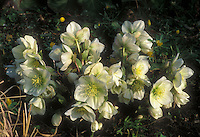 Helleborus x nigercors GR20251