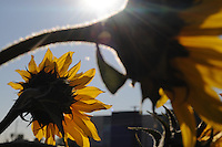 """Phoenix, Arizona - """"Valley of the Sunflowers,"""" is a project that turned a two-acre city block in Phoenix into a sunflower field. High school science students will press the seeds to create biodiesel fuel for a hybrid solar-biofuel vehicle. Photo by Eduardo Barraza © 2011"""