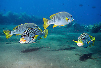 September 13th 2007- Bali, Indonesia- A group of Sweetlips at a dive site known as Liberty wreck, which is located near the Tulamben area of North East Bali. BaliÍs signature dive site, the Liberty wreck came about, when U.S. forces deliberately beached the U.S.S. Liberty, a cargo ship, on its black-pebble shores during World War II, to stop it falling into the hands of the Japanese. The ship sat on the beach until nearby Mount Agung erupted in 1967, pushing the wreck into the sea.  The ship is now almost perfectly positioned, with the top of its masts just four meters from the surface, easily reached even by snorkelers. The bottom of the ship, which rests slightly on its side, still easy to reach for recreational divers at 35 meters.  Photograph by Daniel J. Groshong/Tayo Photo Group