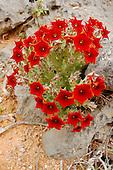 Caralluma (Caralluma socotrana) whose flowers stink of rotten flesh to attract pollinators, Socotra, Yemen