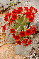 Caralluma (Caralluma socotrana) whose flowers stink of rotten flesh to attract pollinators, Socotra, Yemen